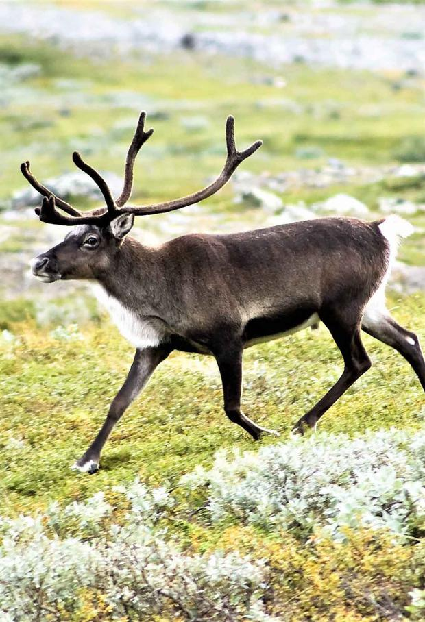 Male, female and juvenile Reindeer are adorned with a set of antlers.
