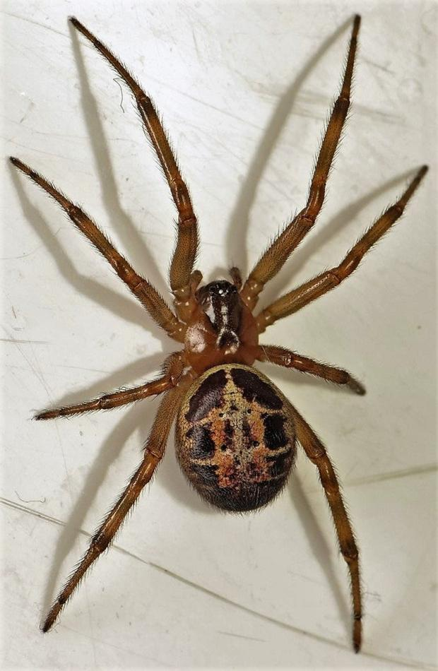 The False Widow is a recent addition to Ireland's wildlife