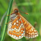 Populations of the Marsh Fritillary are in decline due to fragmentation and loss of the wetland habitats they need to survive.