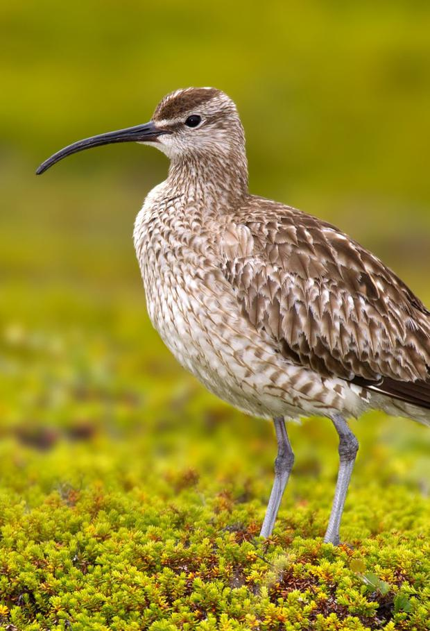 The Whimbrel is a small migratory curlew that is passing through Ireland at present on its journey north