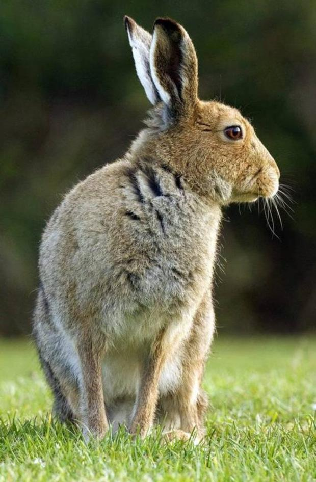 The Irish Hare population is under threat from a new more virulent strain of a viral disease