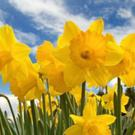 Services provided by the Irish Cancer Society are only made possible by donations on Daffodil Day