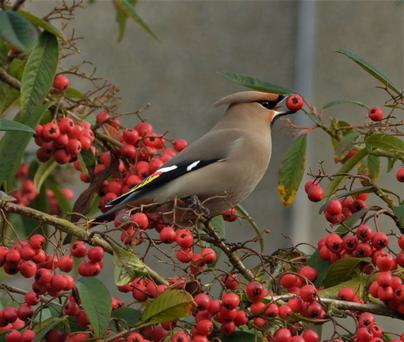 The waxwing, photographed by Gerry O'Neill, at DkIT