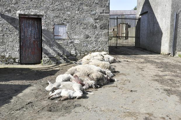 16 sheep killed by dogs on Henry McRoy's farmer.