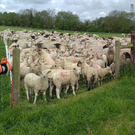 Farmer Peadar Kearney getting ready to move ewes and lambs to their next paddock pictured by Joanne Martin
