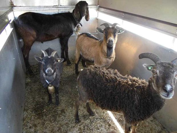 Some of the animals from the petting farm being transported by the LSPCA