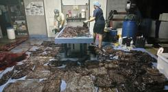 Up to 80 plastic bags extracted from within a whale are seen in Songkhla, Thailand, in this still image from a June 1, 2018 video footage by Thailand's Department of Marine and Coastal Resources. Thailand's Department of Marine and Coastal Resources/Social Media/via REUTERS
