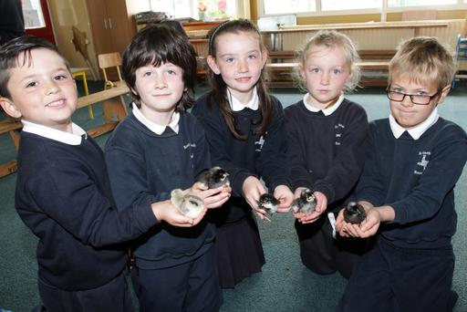 Pupils from senior infants Blackwater National School with newly hatched chicks. Adam Nobbs, Greg Donoghue, Molly O'Brien, Ciara Whelan and Charlie Ringwood.