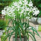 Plant of the week: Nerine bowdenii 'Alba'