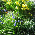 Spring flowered bulbs