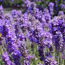 Lavender is somewhat adaptable and will tolerate the wet, fertile soils and cool temperatures we can offer in Ireland