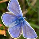 While Common Blue Butterflies are flying at present their numbers are reduced
