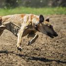 Greyhound racing is under pressure globally