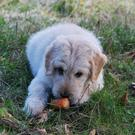 Raw carrots could be part of a food trial diet for dogs
