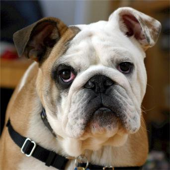 Bulldogs often pant because it's the only way they can breath