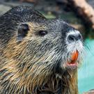 Originally native to subtropical and temperate South America, the Coypu has spread far and wide primarily due to escapes from fur farms.