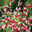 Dubiously named Salvia 'Hot Lips'