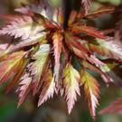 The feathery leaf of Acer 'Beni Hagoromo'.