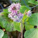 Winter Heliotrope flowers are strongly scented of vanilla