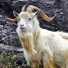 Mature male goats can have impressive horns and beards