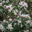 Plant of the week - Daphne bholua