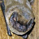 Outside of bogs, Leisler's Bat is common and widespread throughout Ireland.