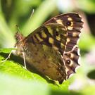 The Speckled Wood is a very common woodland butterfly with dark brown wings speckled with creamy spots.