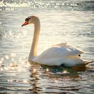 Swans are vulnerable to being attacked by uncontrolled dogs