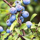 Many Blackthorn bushes are bearing crops of sloes at present.