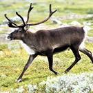 Male, female and juvenile Reindeer are adorned with a set of antlers