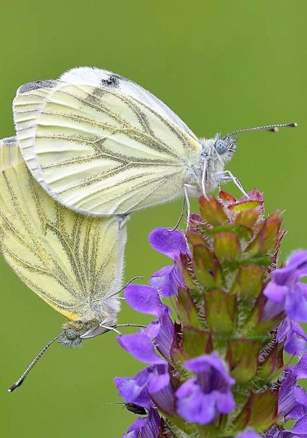 A lot of people recorded sightings of Green-veined White butterflies during 2018.