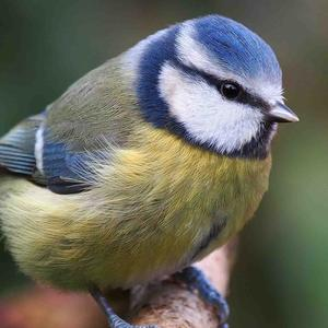 The Blue Tit is a common garden bird