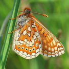 Populations of the Marsh Fritillary are in decline due to fragmentation and loss of the wetland habitats they need to survive