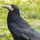Rooks are distinguished from other members of the crow family by the bare skin at the base of the bill and in front of the eyes