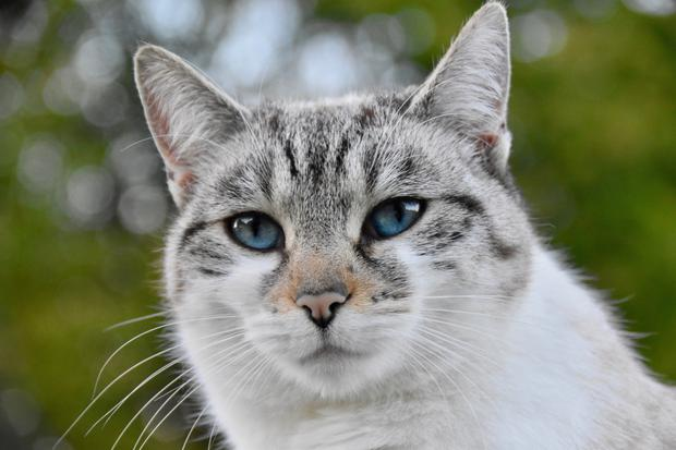 Up to 20% of the human population are allergic to cats