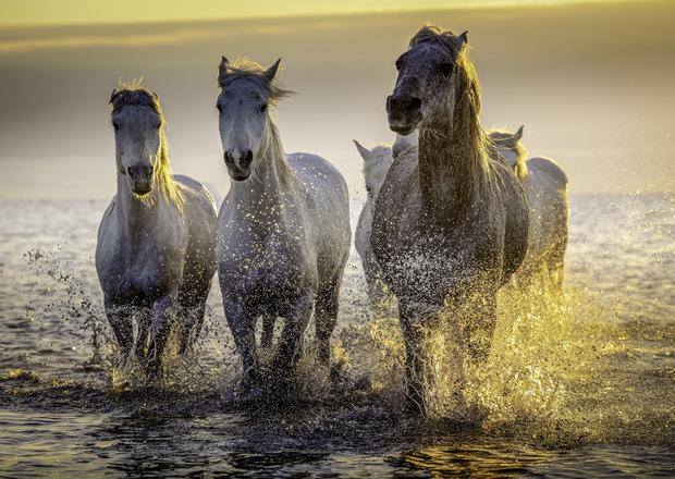 Horses of Camargue by Roisin McArdle