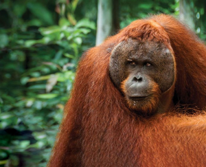 'Maybe it was the orangutans who were descended from us' (stock image)