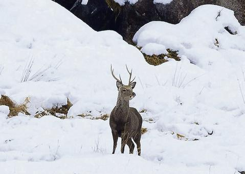 Wicklow is believed to have the highest concentration of Sitka deer in Europe.