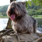Glen of Imaal Terrier from the book Native Irish Dogs (photo: Colin White)
