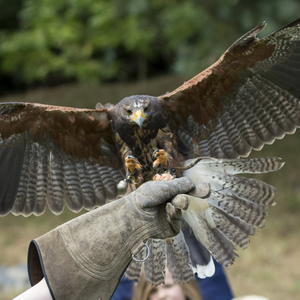 Grace Butler keeps her arm strong and steady as the hawk lands during the display at Killruddery House