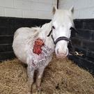 The rescued pony, named Kay, is recovering well under the care of the Irish Horse Welfare Trust