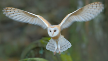 Watch out for the Barn Owl