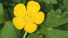 The Creeping Buttercup is a common weed of garden lawns