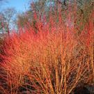 Plant of the Week: Cornus 'Midwinter Fire'