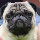 Pugs are cute, but they suffer from many health problems