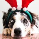 Pets sometimes need the help of their vet at Christmas