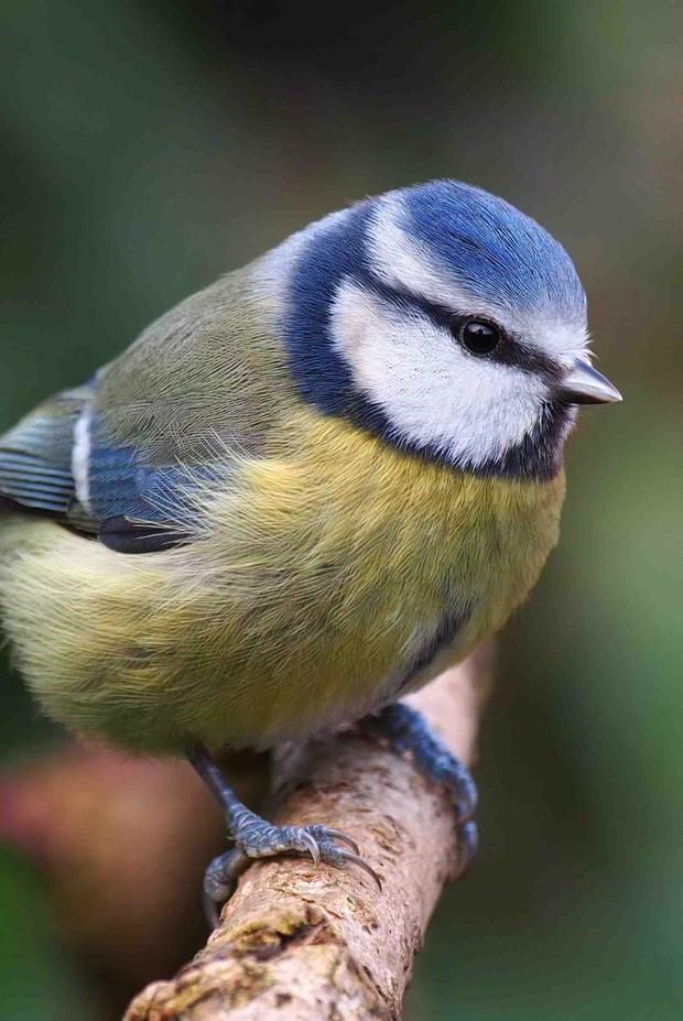 The Blue Tit is a very common garden bird