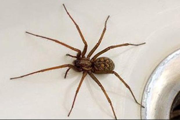 Householders can expect to come across some of these oversized beauties as spiders move indoors over the coming weeks to seek warmth and food