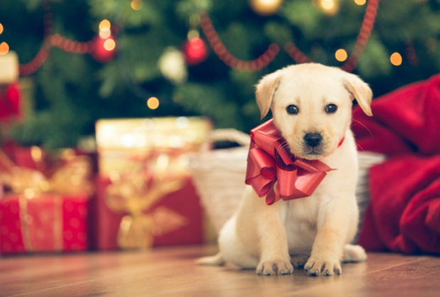 The myth that a dog is the perfect Christmas present has to be dispelled