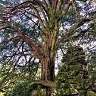 The mystical and magical Yew Tree, estimated to be more than 600 years old in the Rock Close gardens in the Blarney Castle Estate